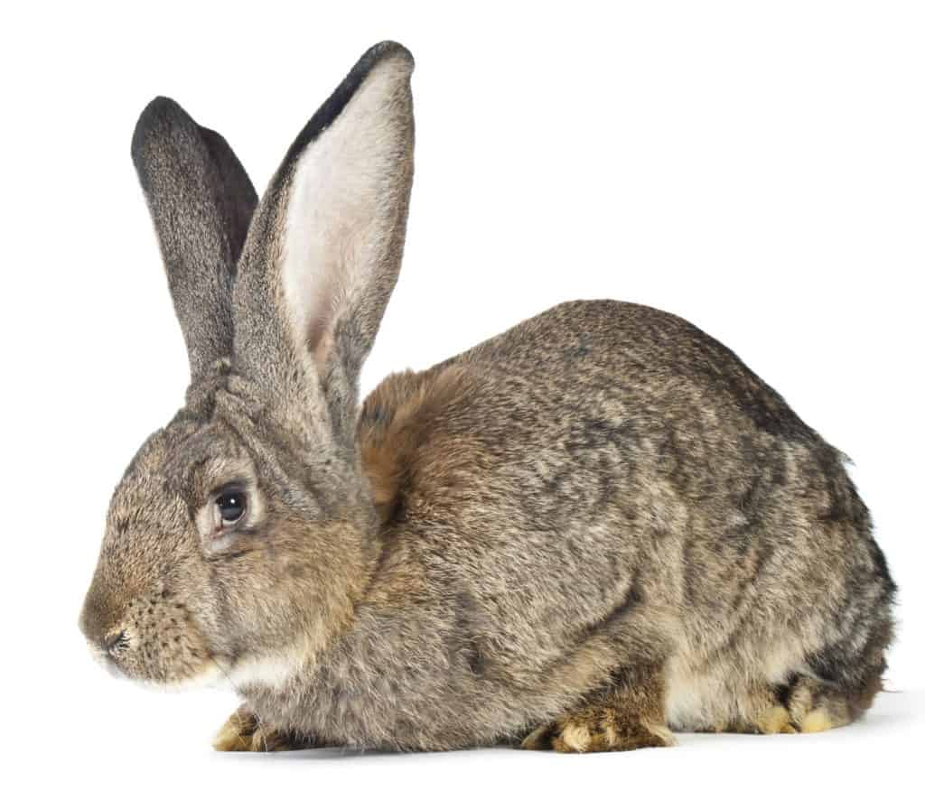 Continental Giant Rabbit on white background