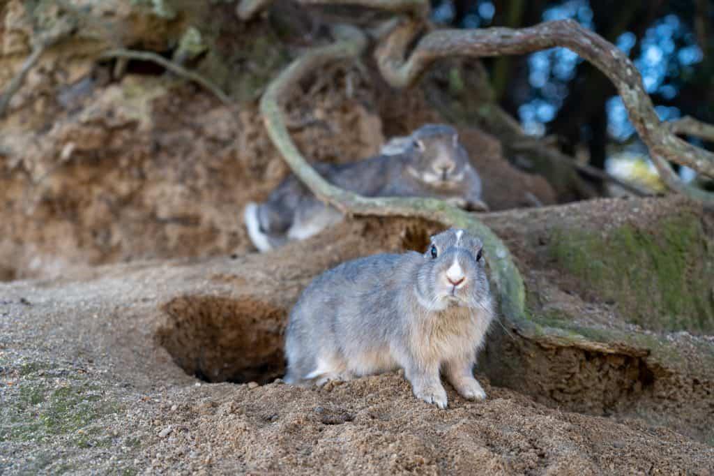 Rabbits of Rabbit Island