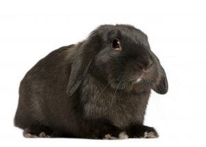 Black French Lop Rabbit