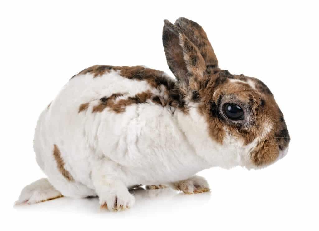 Cute Rex Rabbit