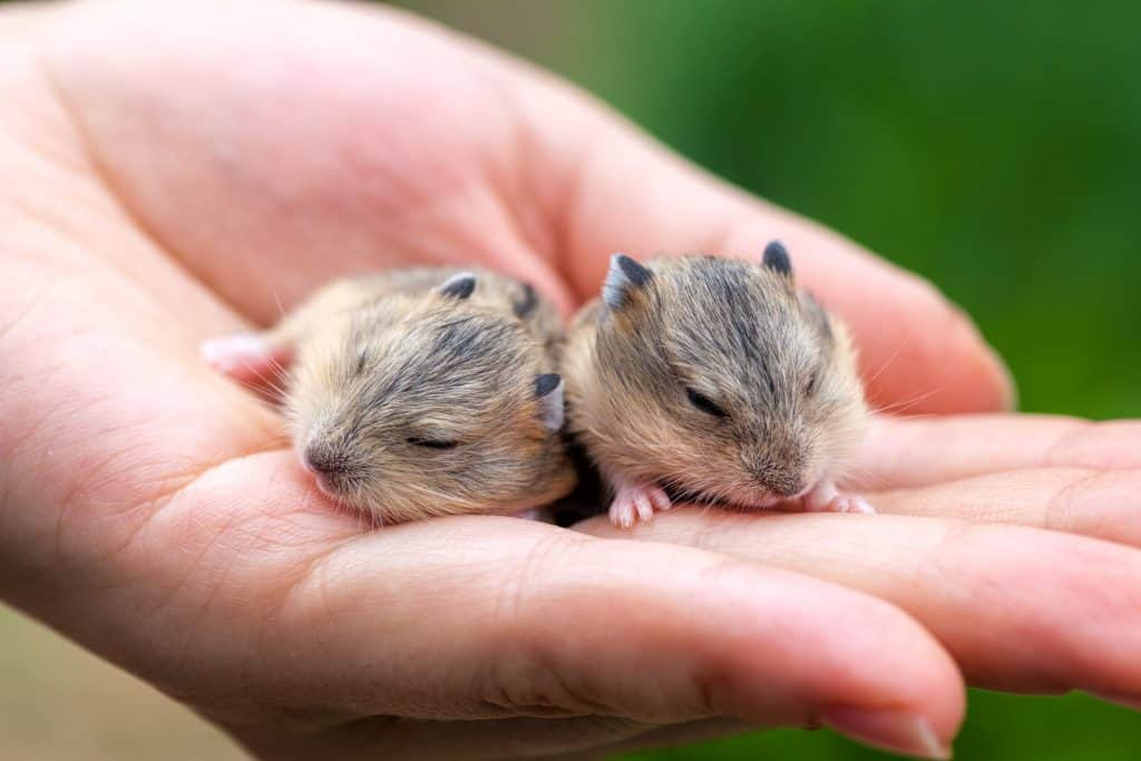 hamster hamsters in owners hand