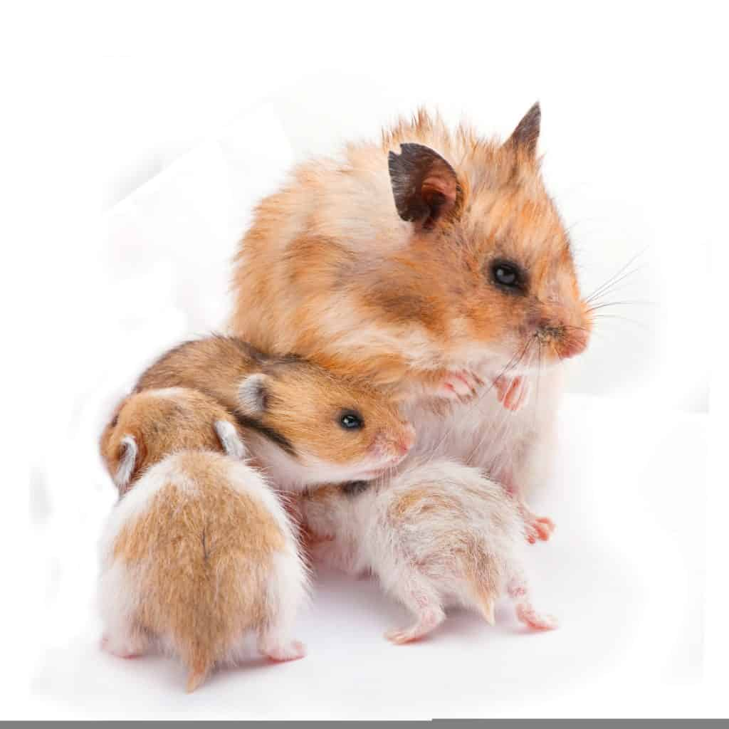 baby hamsters with mother