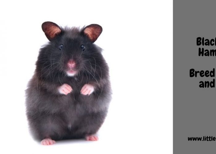Black Bear Hamster – Breed Guide and Facts