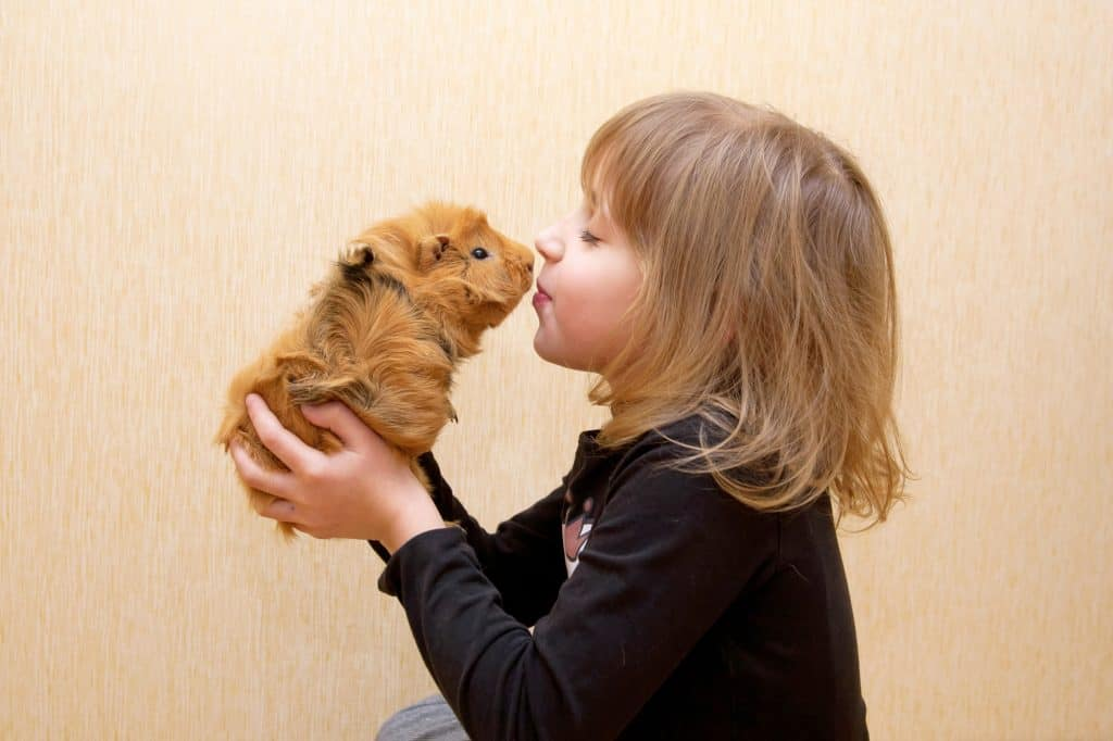 little child kissing the guinea pig.