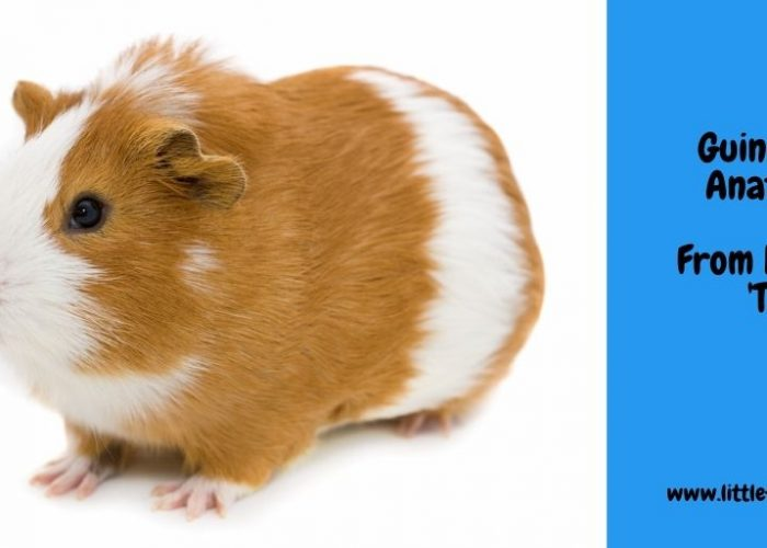 Guinea Pig Anatomy – From Head to 'Tail'