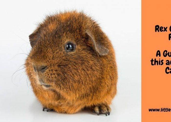 The Ultimate Guide to the Rex Guinea Pig
