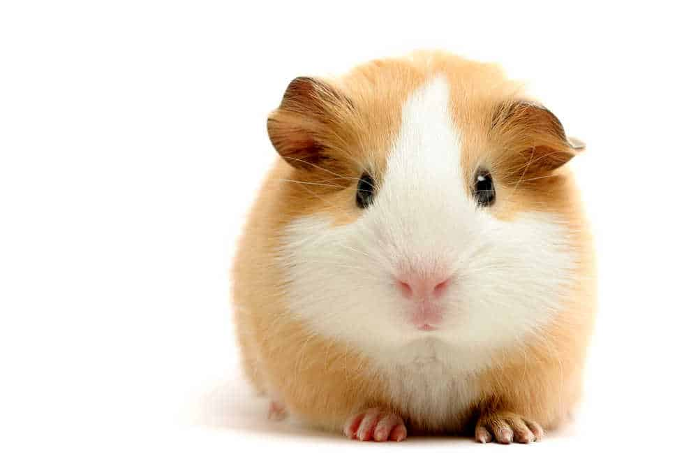 Guinea Pig from the front