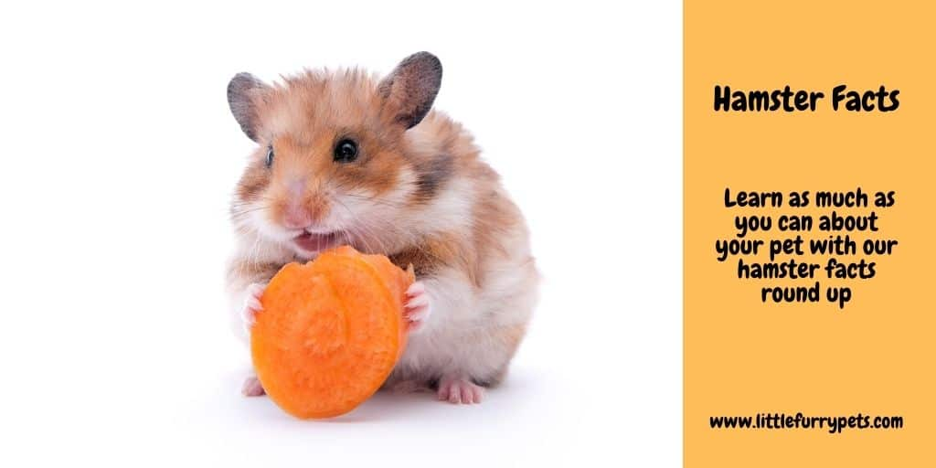 Hamster Facts - Hamster eating a carrot