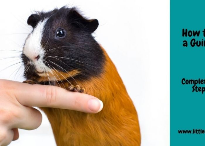 How To Tame a Guinea Pig: The Complete Step-by-Step Guide