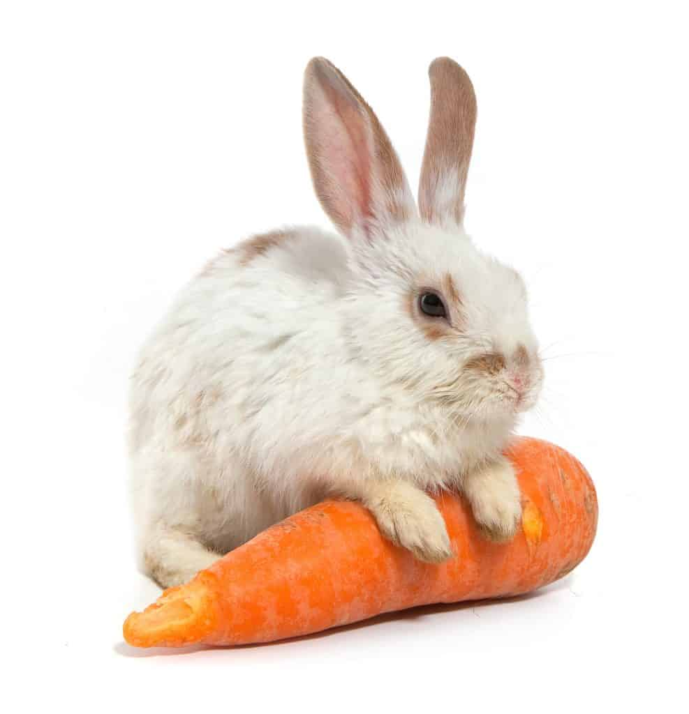 Rabbit standing with Carrot