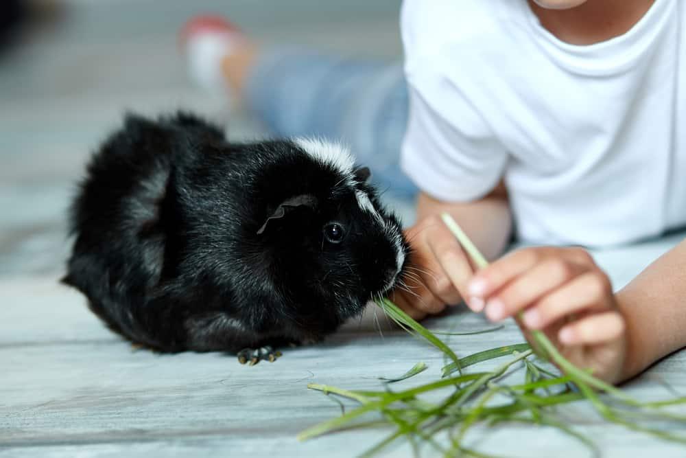 Child hand feeding his guinea pig