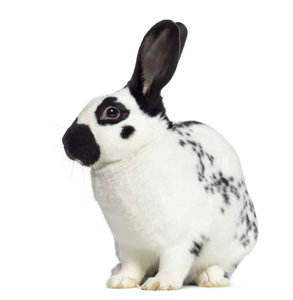 Checkered Giant rabbit side view