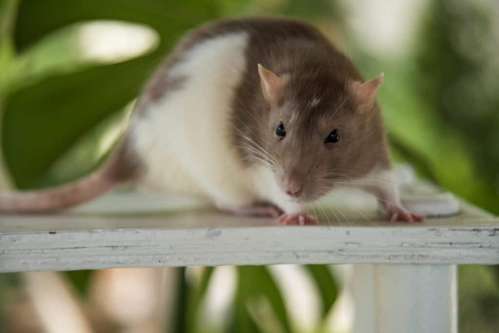 Pet Rat on a table
