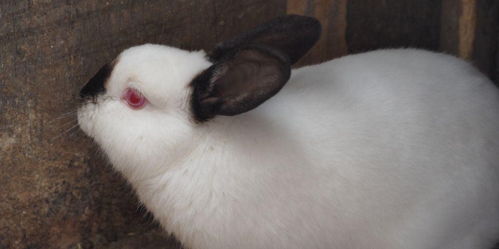 The Himalayan Rabbit