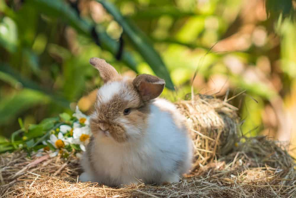 small Jersey Wooly Rabbit in dry grass