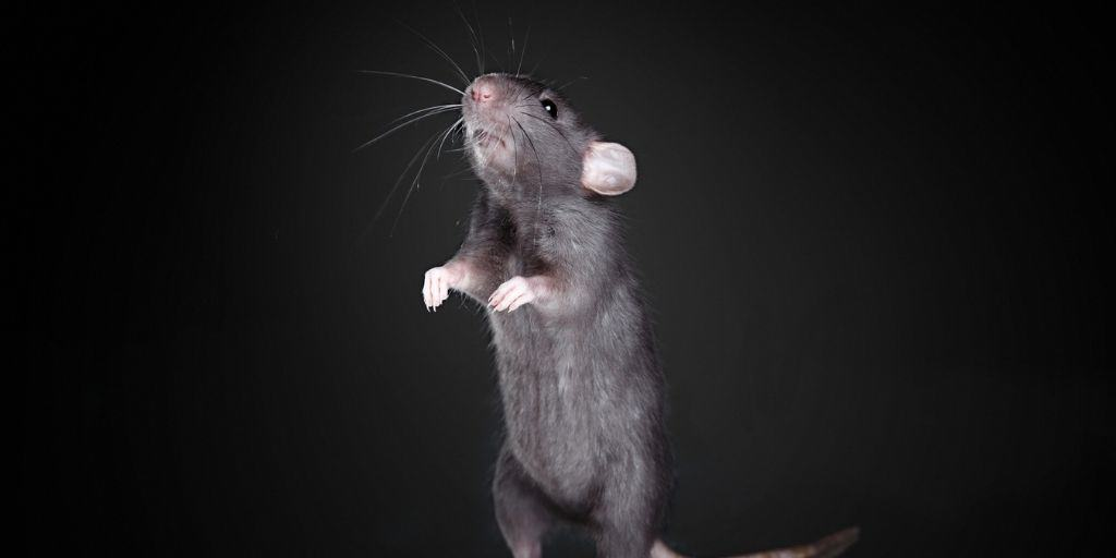 Are Rats Nocturnal