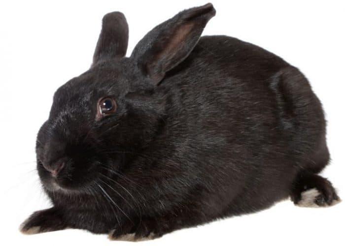 The Havana Rabbit