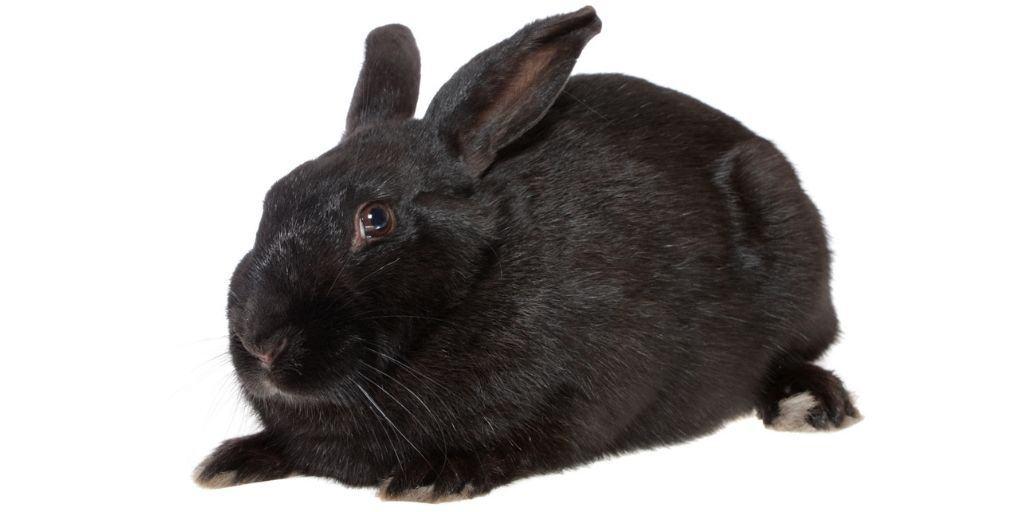 The black havana rabbit