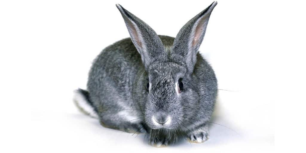Rabbit Behaviour Inappropriate urination