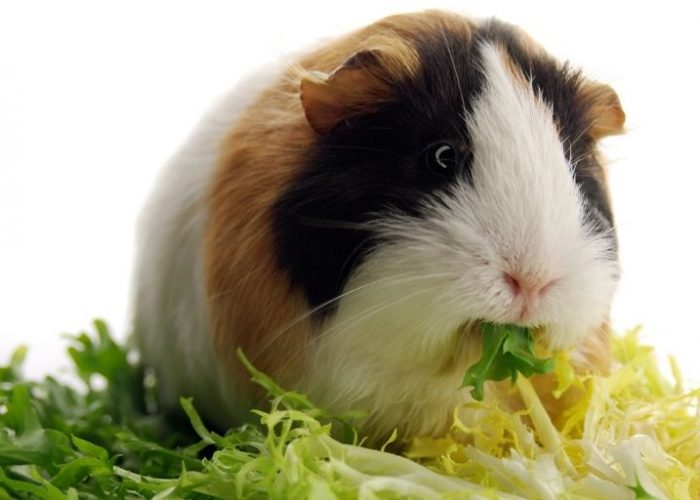 What can guinea pigs eat – The complete guide to guinea pig foods