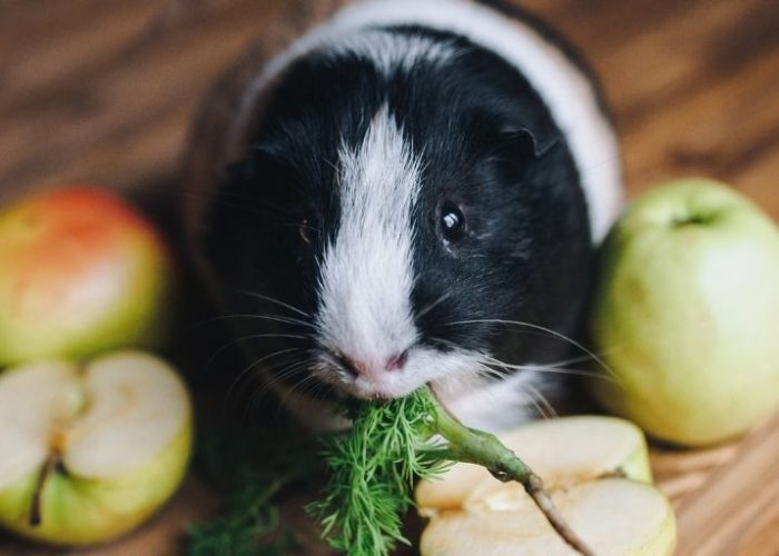 The Best Guinea Pig Food: The Seven Yummiest Options of 2021