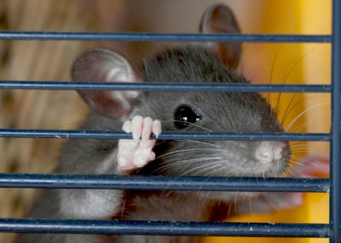 Buyer's Guide to Finding the Best Rat Cage in 2021