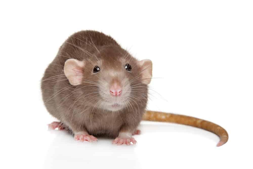 Dumbo rat close up