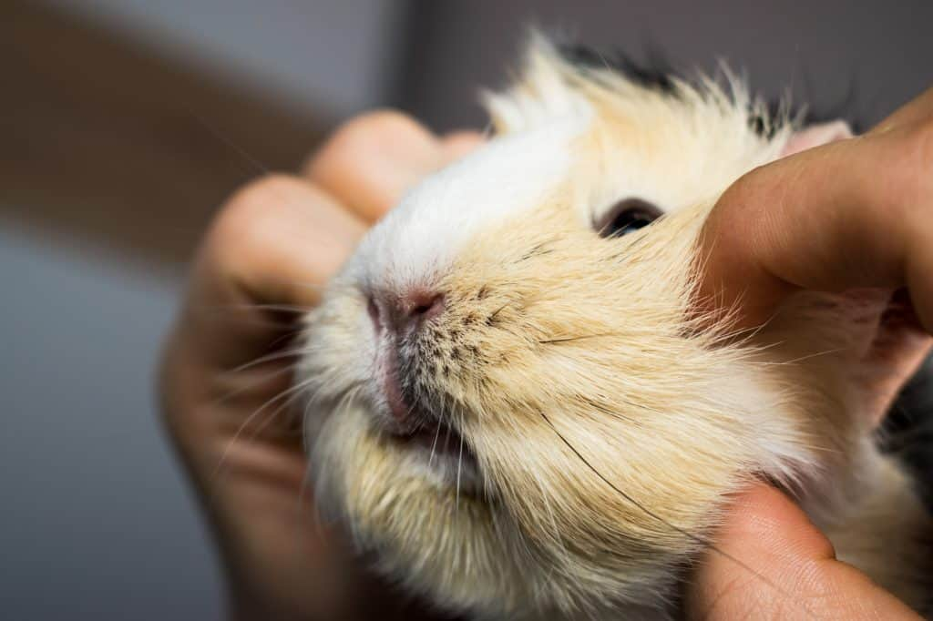 Guinea Pig being tickled