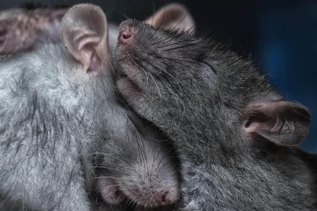 A pair of rats sleeping