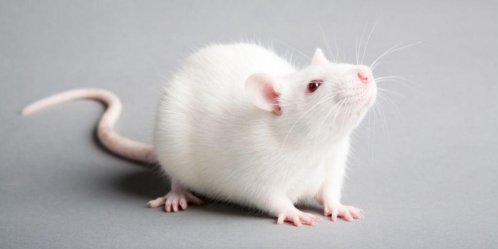 Albino Rat Pet Guide