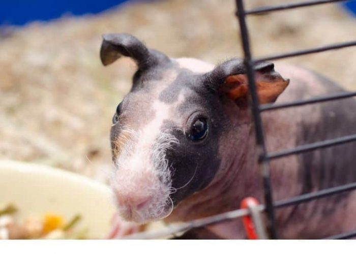 Skinny Pig  – The Ultimate breed and care guide