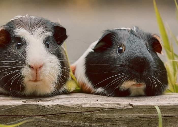American Guinea Pig Complete care guide
