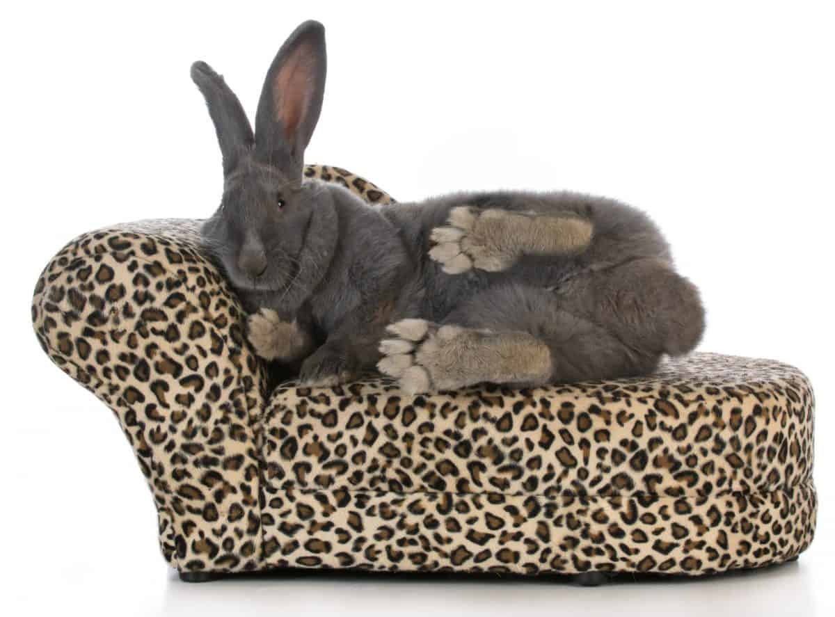 fancy bunny - giant flemish bunny stretched out on a leopard print chaise lounge isolated on white background