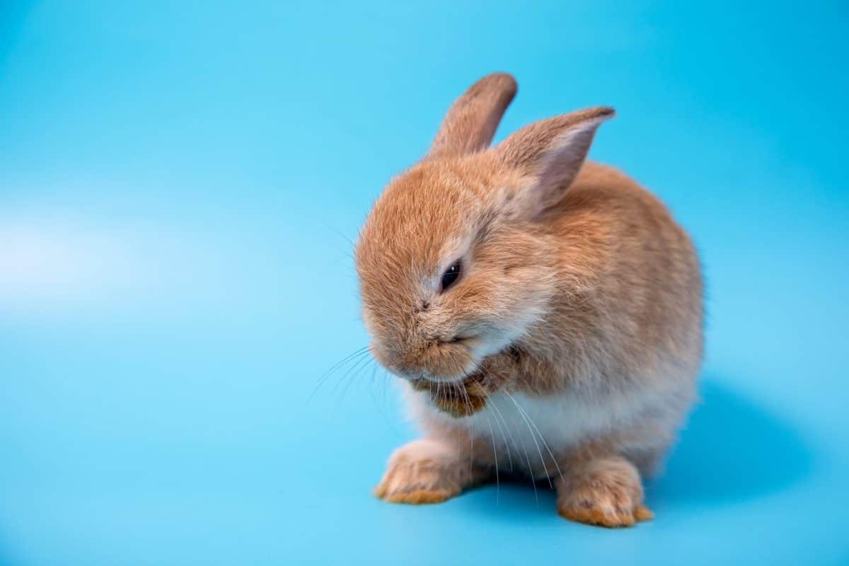 netherland dwarf rabbit on blue background