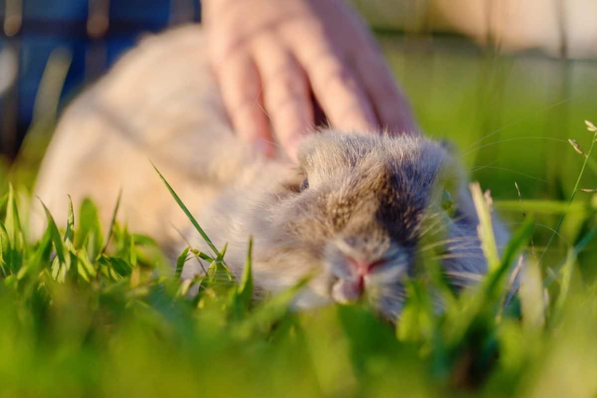 dwarf rabbit being stroked