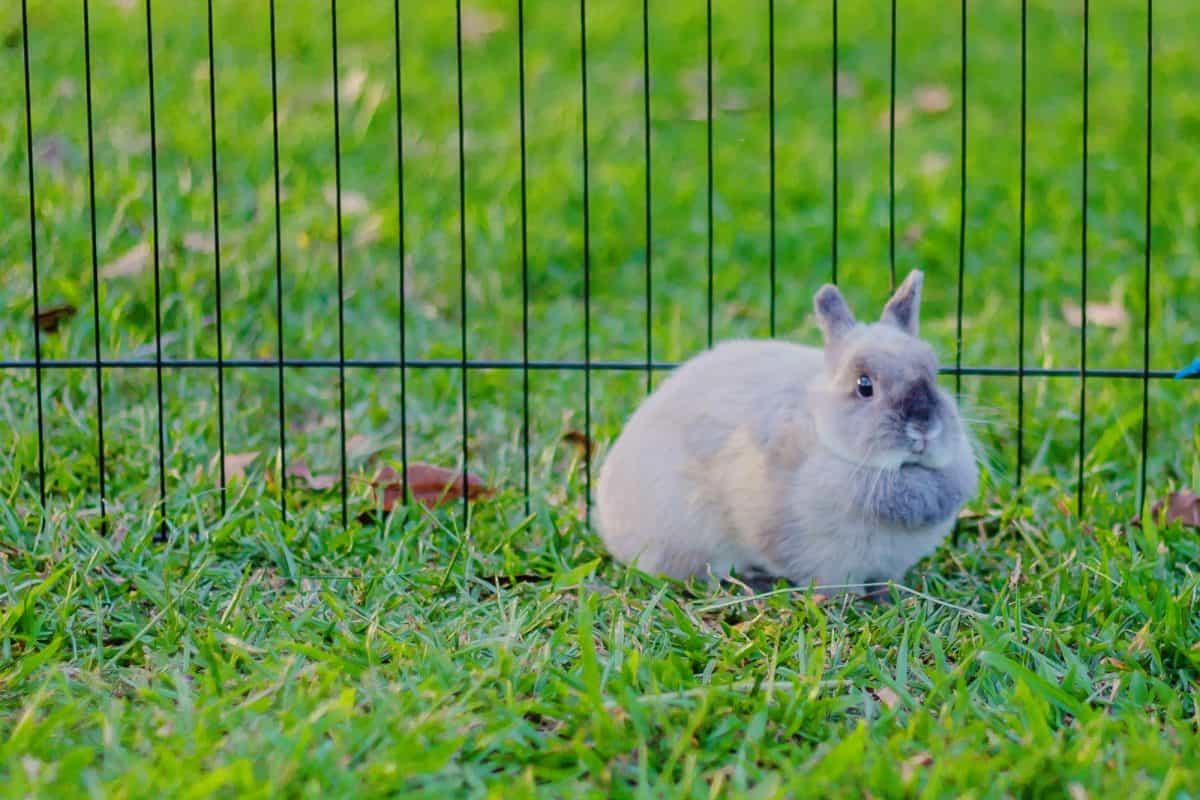 dwarf rabbit outside in run