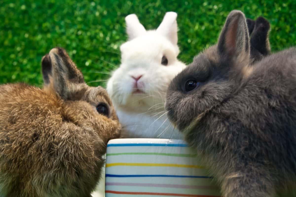 three netherland dwarf eating on the grass background