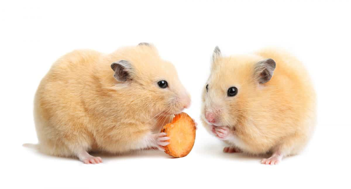 pair of hamsters eating a carrot