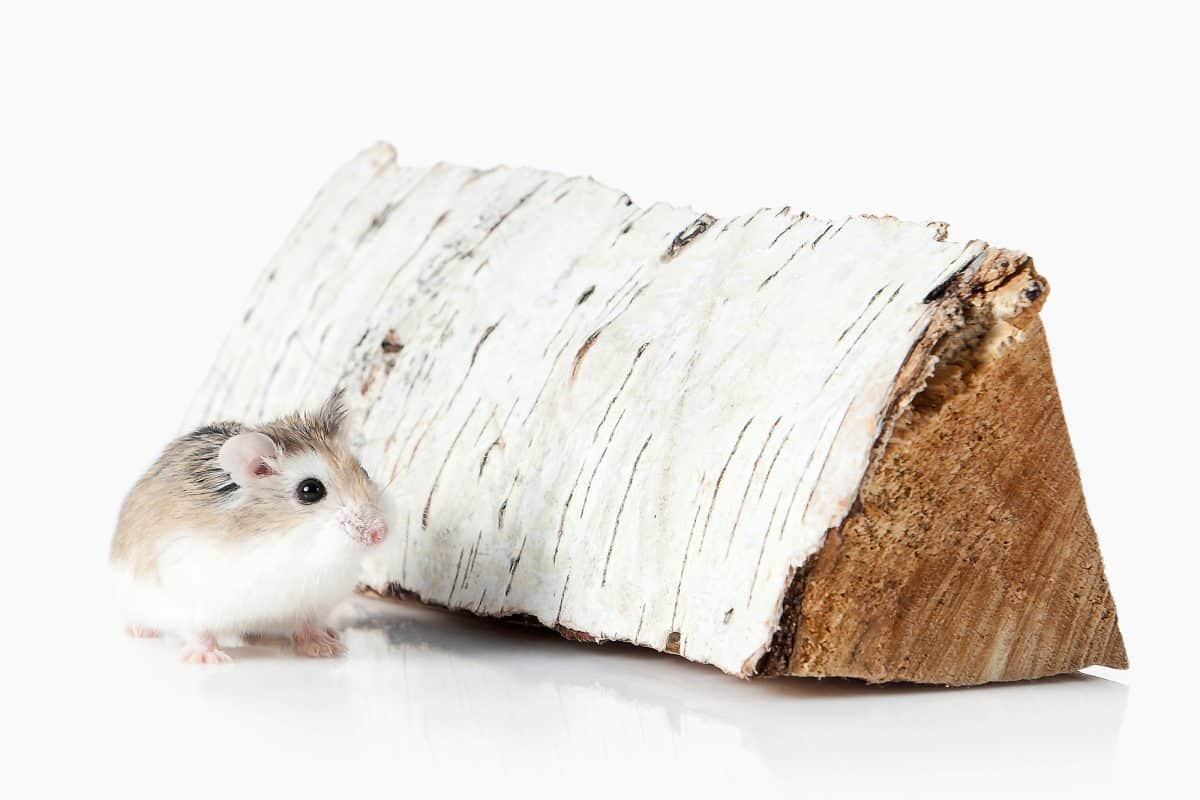 Roborovski hamster isolated on white background