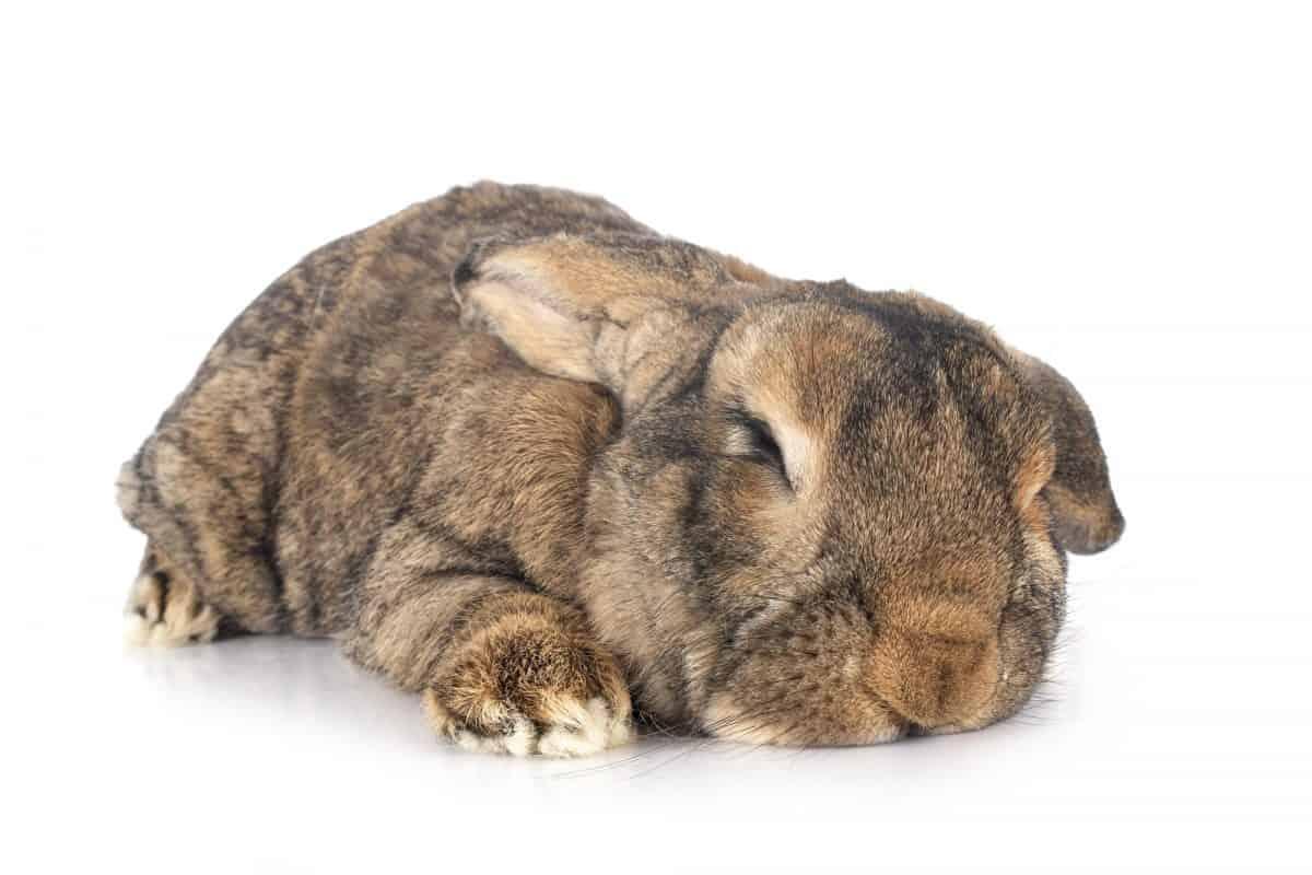 sleepy flemish giant rabbit
