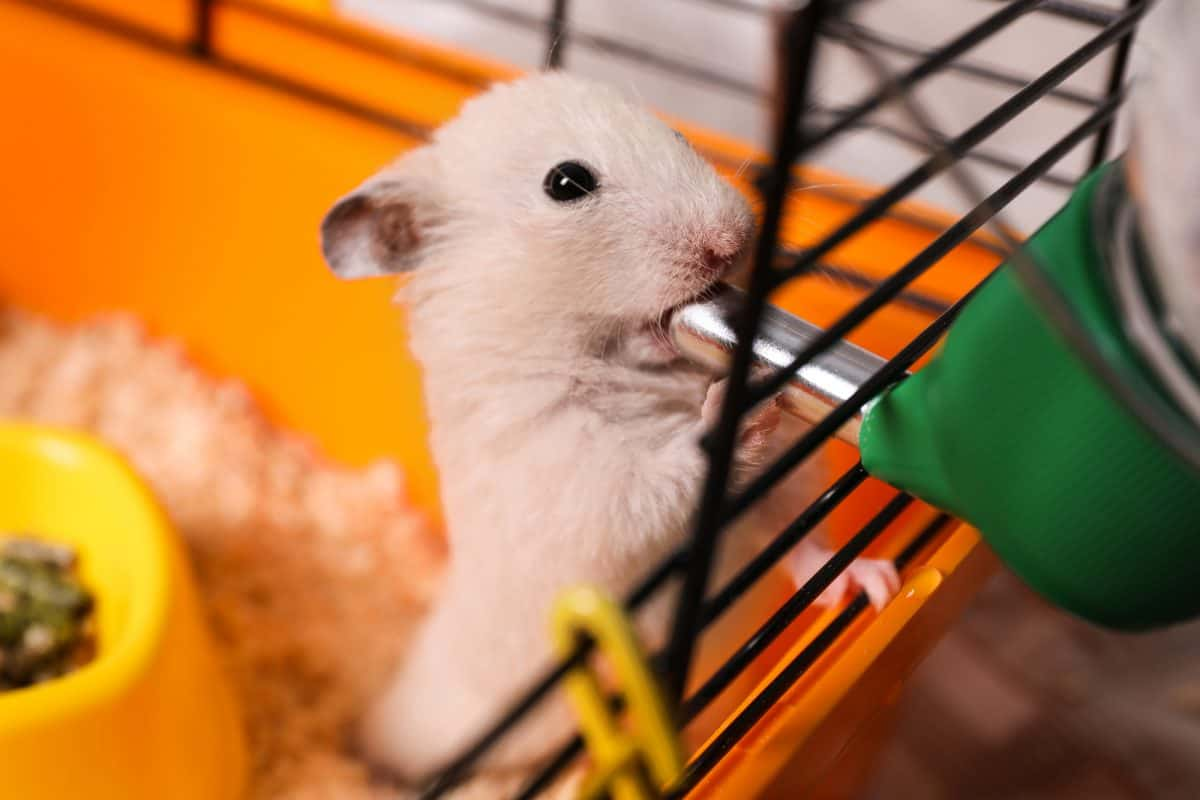 Cute little fluffy hamster drinking in cage