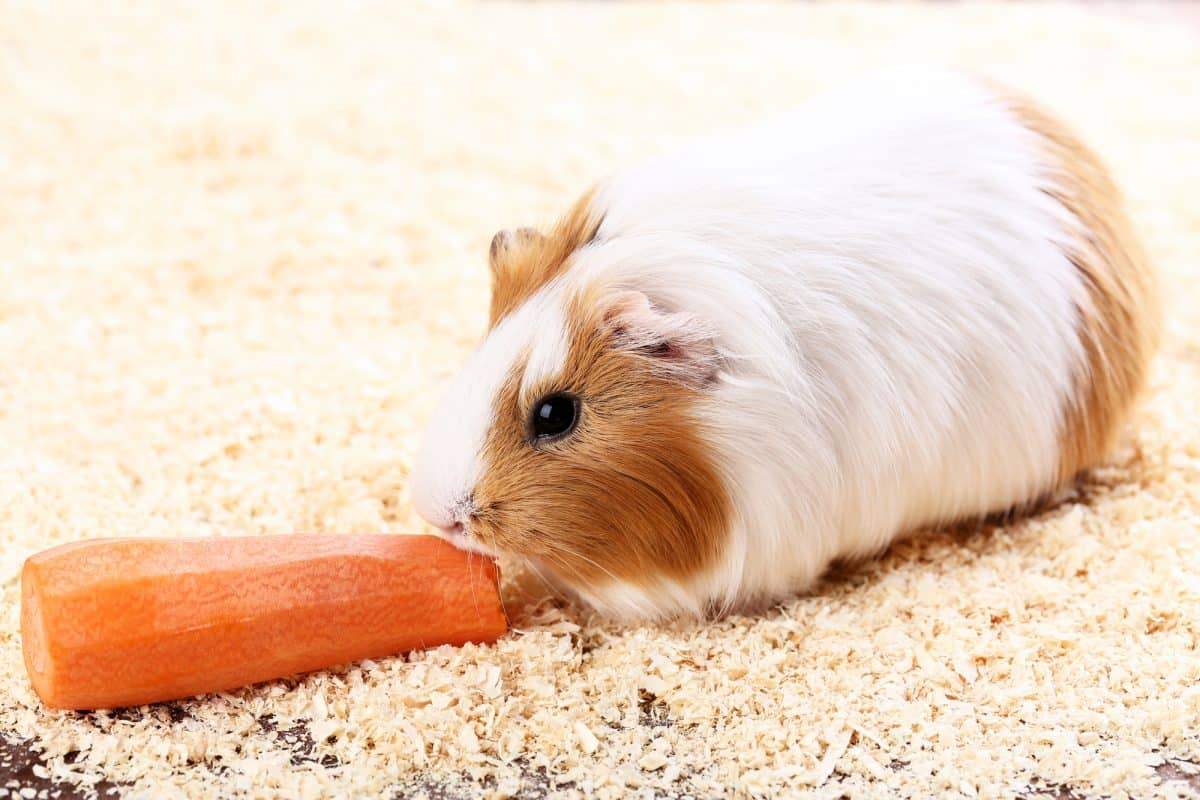 Guinea pig with carrot on sawdust