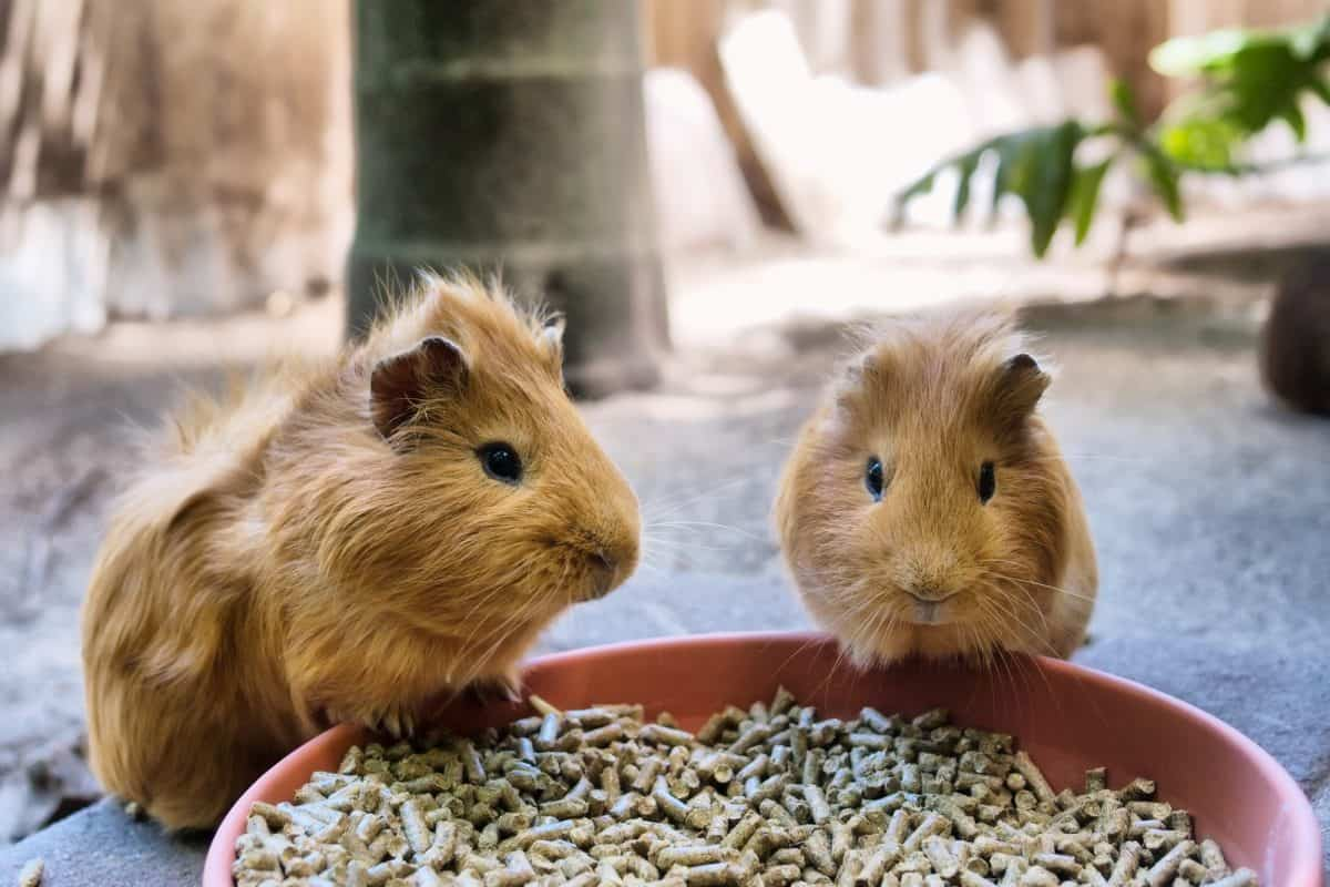 Two cute guinea pigs are having meal. Shot in World of Birds park, Cape Town, South Africa.