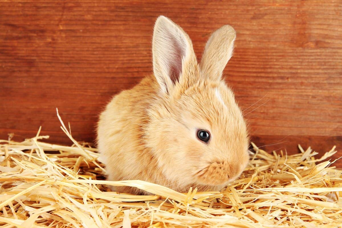 Fluffy foxy rabbit in hay bedding on wooden background