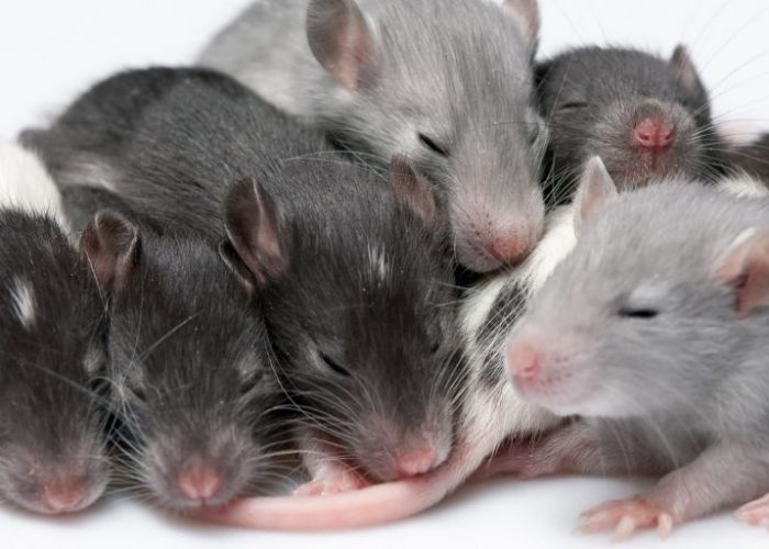 Baby Rats – Caring for pregnant rats and their babies