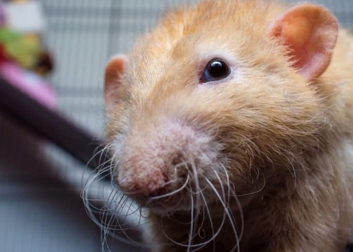 Rex Rat – Pictures, Care tips and much more