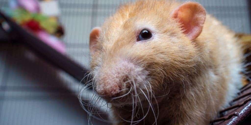 Rex Rat