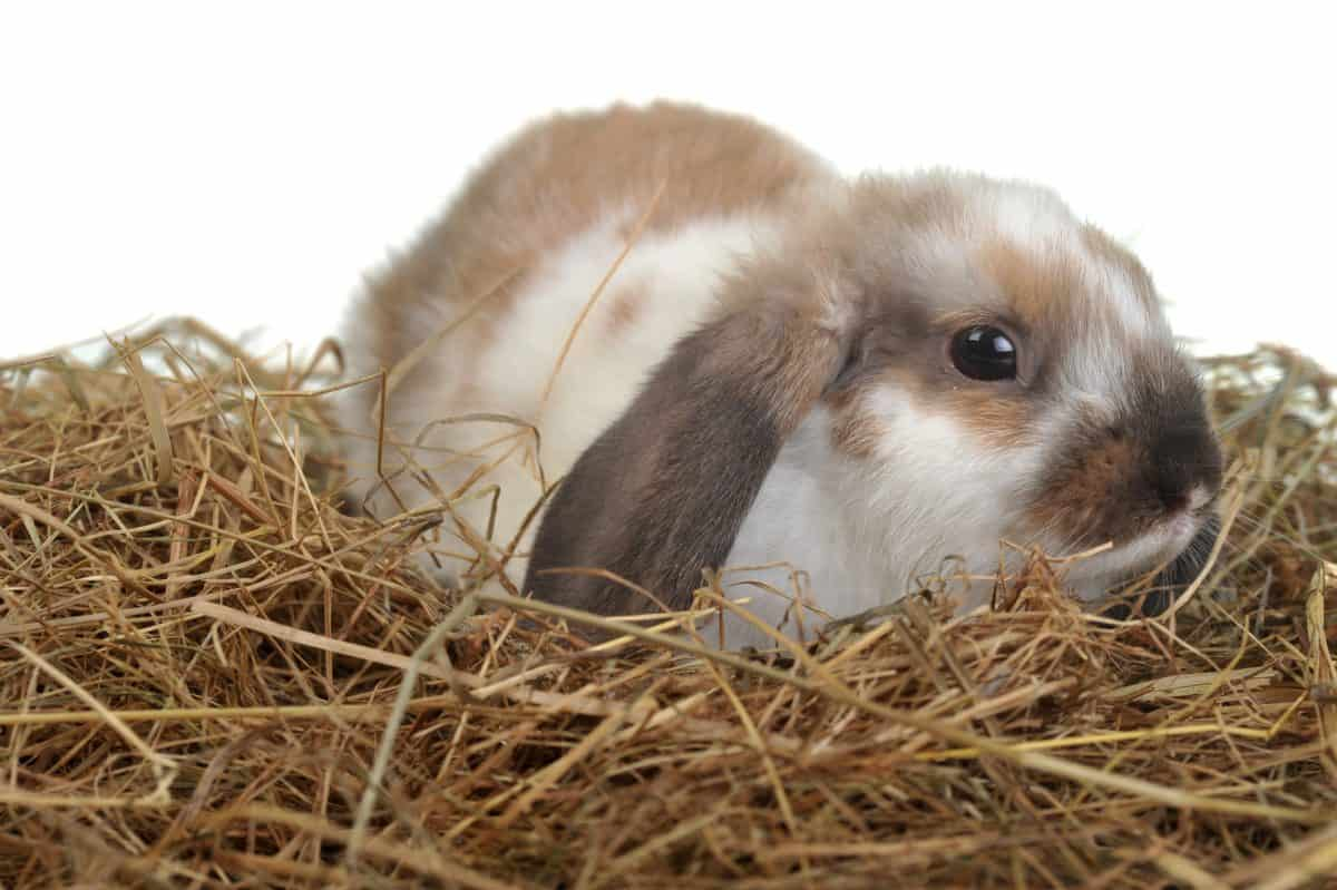 brown and white rabbit laying on hay